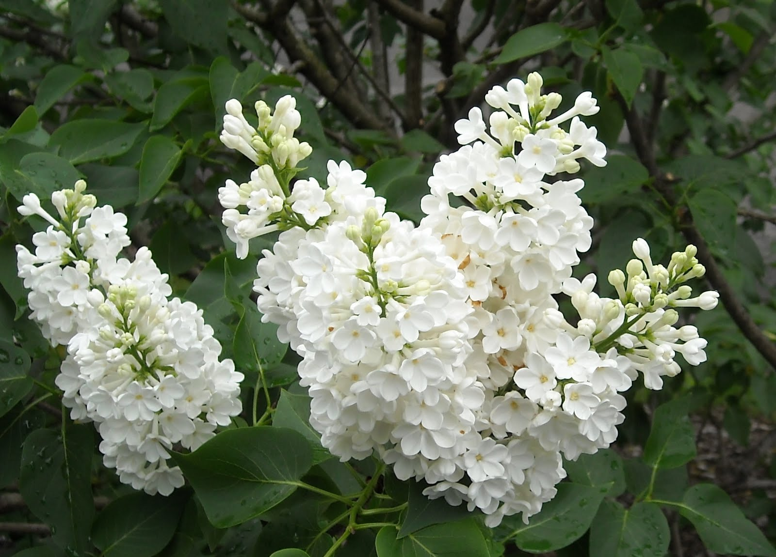 lilacs lacking why won t they flower plough and furrow. Black Bedroom Furniture Sets. Home Design Ideas